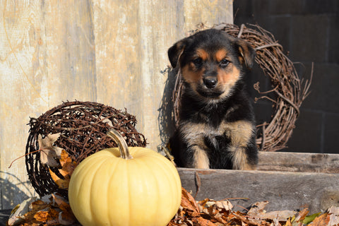 German Shepherd Rottweiler Mix Puppy For Sale Millersburg Ohio Bruno Male