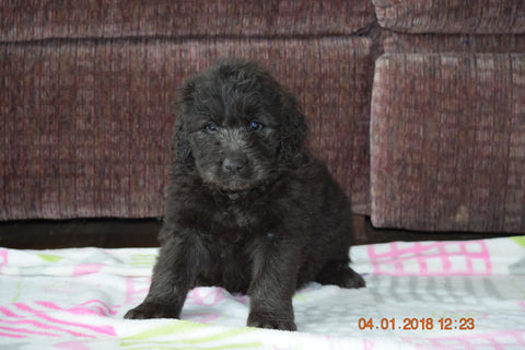 Black Goldendoodle Puppy For Sale Mount Gilead Ohio Male Hunter