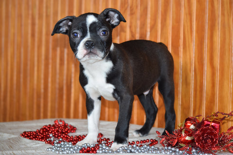 AKC Registered Boston Terrier Puppy For Sale Male Pedro Dundee, Ohio