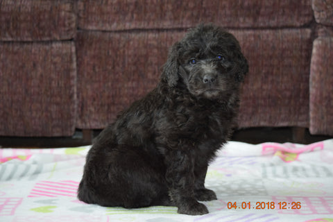 Black Goldendoodle Puppy For Sale Mount Gilead Ohio Male Toby