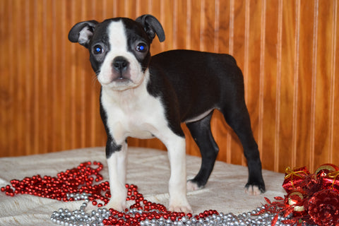 AKC Registered Boston Terrier Puppy For Sale Female Paula Dundee, Ohio