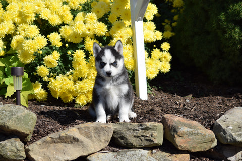 AKC Registered Siberian Husky Puppy For Sale Female Florisa  Beach City Ohio
