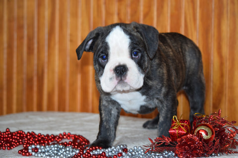Miniature Bulldog Puppy For Sale Male Midnight Dundee, Ohio