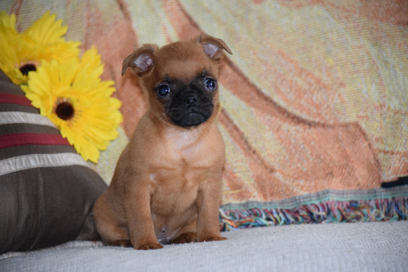 Brussels Griffon Puppy For Sale Male Baxter Apple Creek, Ohio