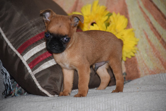 Brussels Griffon Puppy For Sale Male Bruno Apple Creek, Ohio