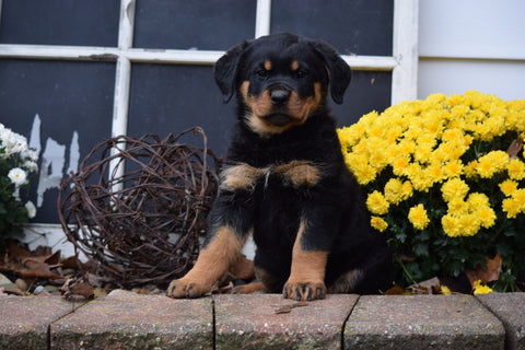 AKC Registered Rottweiler Puppy For Sale Fredericksburg Ohio Female Bell