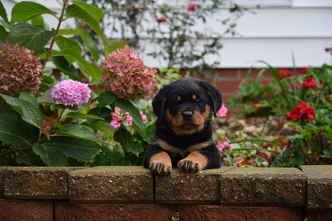 AKC Registered Rottweiler Puppy For Sale Fredericksburg Ohio Male Moe
