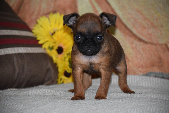 Brussels Griffon Puppy For Sale Female Bella Apple Creek, Ohio