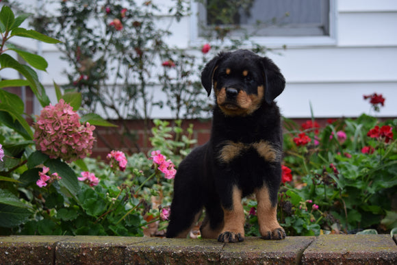 AKC Registered Rottweiler Puppy For Sale Fredericksburg Ohio Male Max