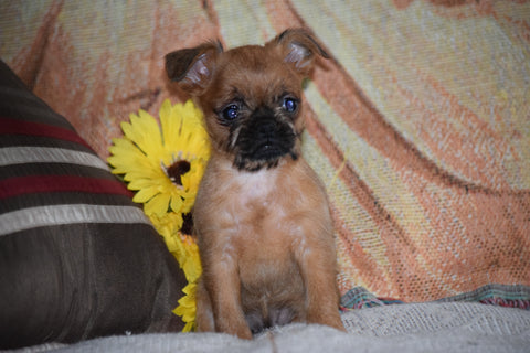Brussels Griffon Puppy For Sale Female Bailey Apple Creek, Ohio