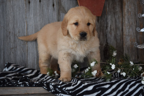 Akc Registered Golden Retriever Puppy For Sale Sugarcreek Ohio Male Toby