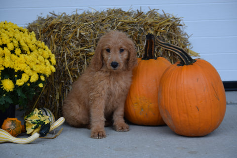 Goldendoodle For Sale Female Stacey Holmesville, Ohio