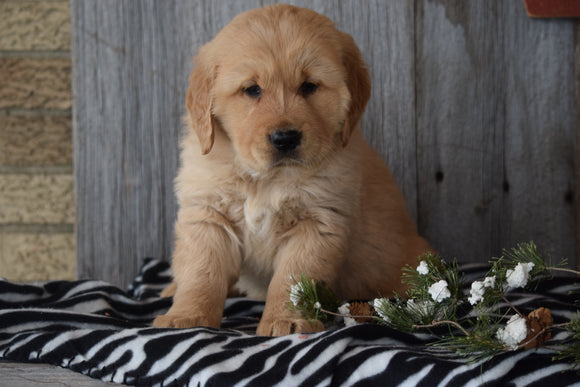 Akc Registered Golden Retriever Puppy For Sale Sugarcreek Ohio Male Victor