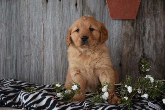 Akc Registered Golden Retriever Puppy For Sale Sugarcreek Ohio Female Sally