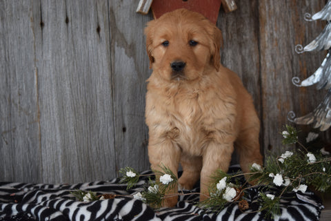 Akc Registered Golden Retriever Puppy For Sale Sugarcreek Ohio Female Letty