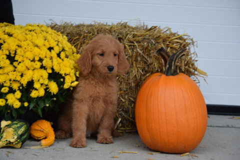 Goldendoodle For Sale Male Rambo Holmesville, Ohio