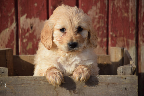 Goldendoodle Puppy For Sale Male Archie Apple Creek, Ohio