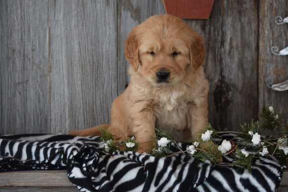 Akc Registered Golden Retriever Puppy For Sale Sugarcreek Ohio Female Bella