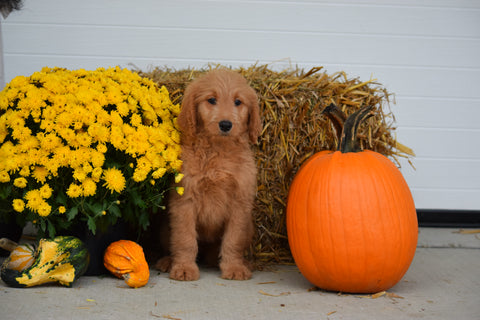 Goldendoodle For Sale Female Sophie Holmesville, Ohio