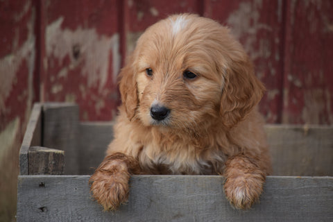 Goldendoodle Puppy For Sale Male Arnold Apple Creek, Ohio