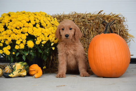 Goldendoodle For Sale Female Lilly Holmesville, Ohio
