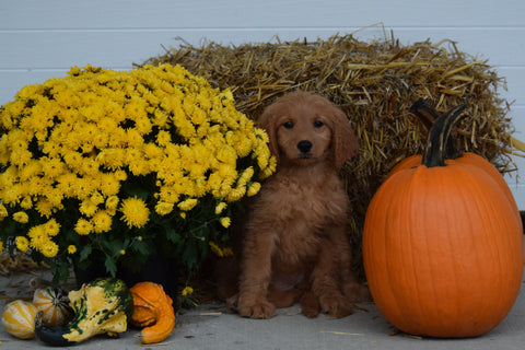 Goldendoodle For Sale Female Cricket Holmesville, Ohio