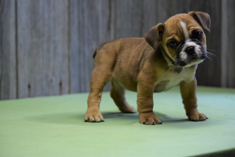 Beabull Puppy For Sale Fresno Ohio Female Sweetie