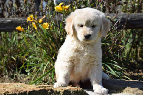 AKC Registered Golden Retriever For Sale Apple Creek, Ohio Female Bella