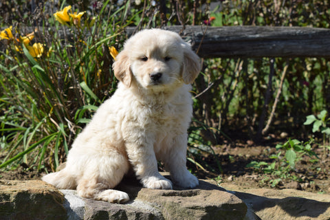 AKC Registered Golden Retriever For Sale Apple Creek, Ohio Male Boomer