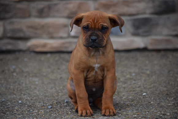 Boxweiler Puppy For Sale Female Bailey Shreve, Ohio