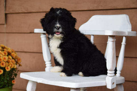 Miniature Bernedoodle Puppy For Sale Dundee Ohio Brandon Male