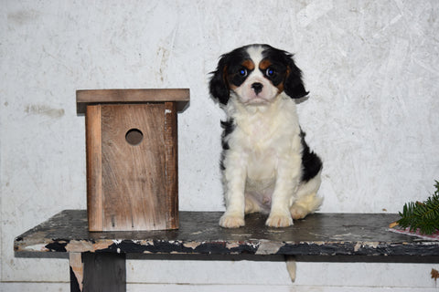Akc Registered Cavalier King Charles Spaniel For Sale Male Bubba Fresno Ohio