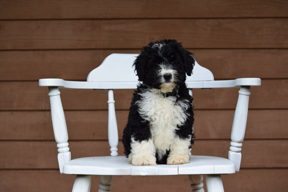 Miniature Bernedoodle Puppy For Sale Dundee Ohio Gina Female