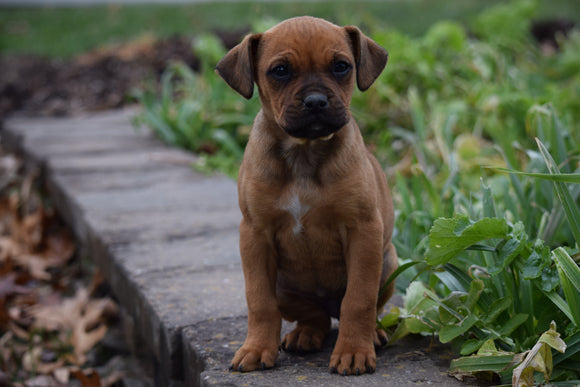 Boxweiler Puppy For Sale Female Betz Shreve, Ohio
