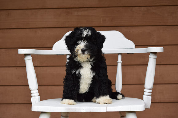 Miniature Bernedoodle Puppy For Sale Dundee Ohio Queenie Female