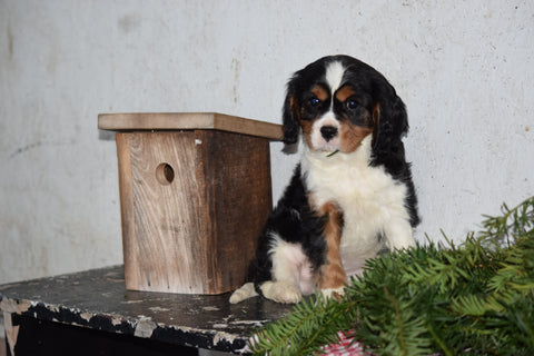 Akc Registered Cavalier King Charles Spaniel For Sale Male Buddy Fresno Ohio