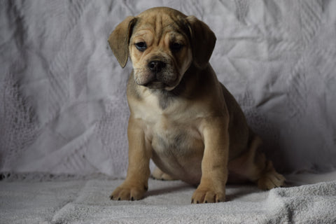 Beabull Puppy For Sale Male Alfred Millersburg, Ohio