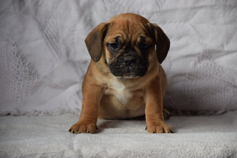 Beabull Puppy For Sale Female April Millersburg, Ohio