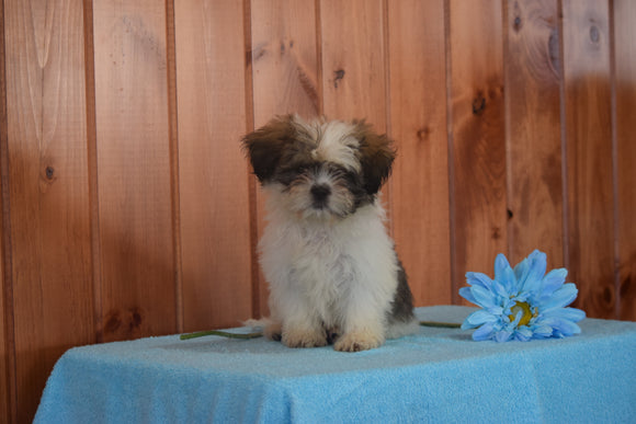 Shinese Female Puppy Gracie For Sale Fredericksburg, Ohio