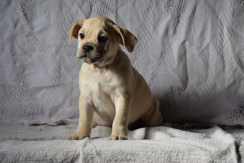 Beabull Puppy For Sale Male Abel Millersburg, Ohio