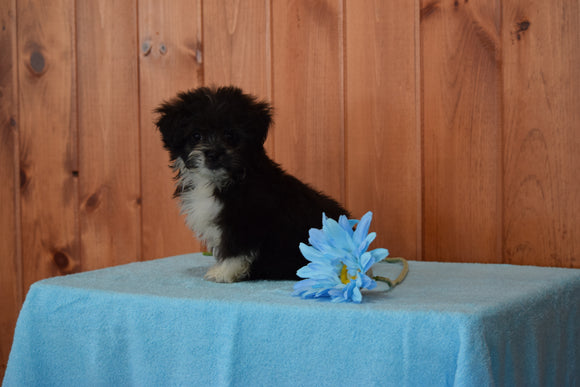 Shinese Female Puppy Sophie For Sale Fredericksburg, Ohio