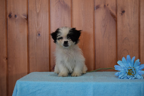 Shinese Female Puppy Kaylee For Sale Fredericksburg, Ohio