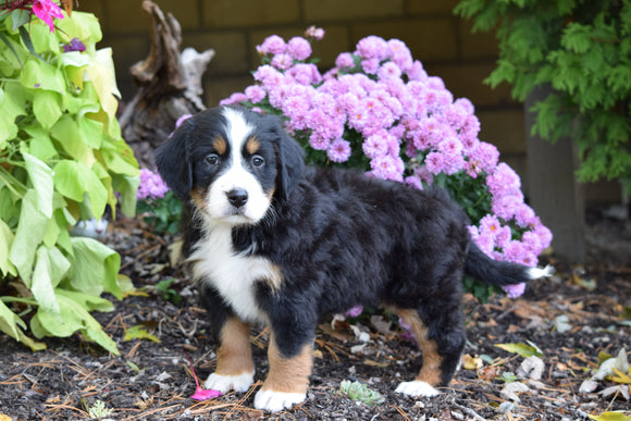 AKC Registered Bernese Mountain Puppy For Sale Millersburg Ohio Female Chloe