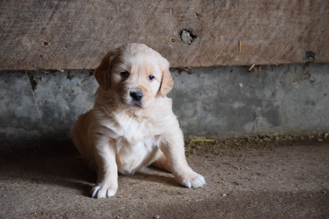Golden Retriever For Sale Male-Buddy Apple Creek Ohio