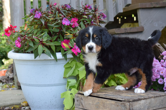 AKC Registered Bernese Mountain Puppy For Sale Millersburg Ohio Male Elmo