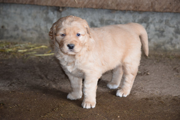 Golden Retiever For Sale Female- Tootsie Apple Creek Ohio