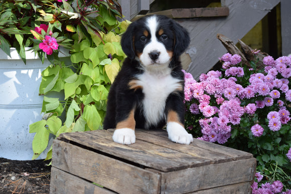 AKC Registered Bernese Mountain Puppy For Sale Millersburg Ohio Male Grady