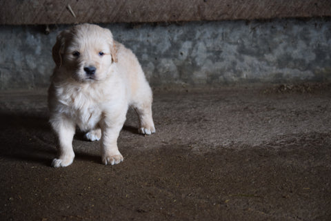 Golden Retriever For Sale Male- Benny Apple Creek Ohio