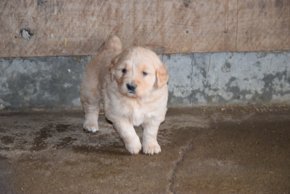 Golden Retriever For Sale Male- Buster Apple Creek, Ohio