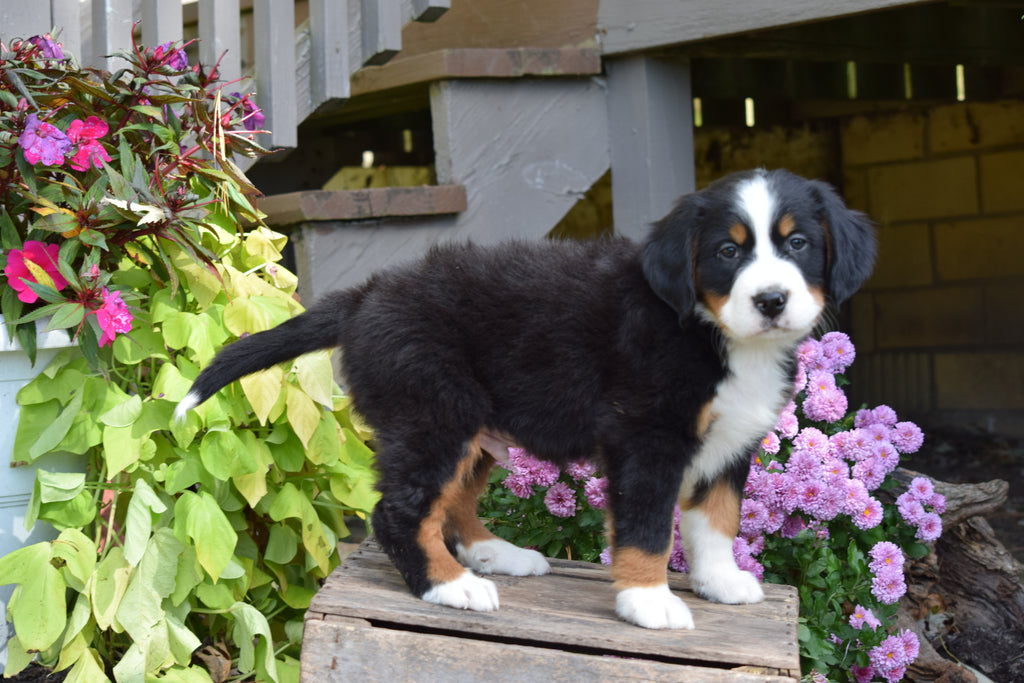 AKC Registered Bernese Mountain Puppy For Sale Greece